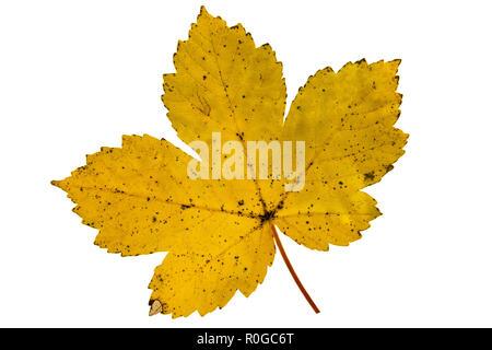 Vibrant detailed colorful autumn leaf on white background. - Stock Photo