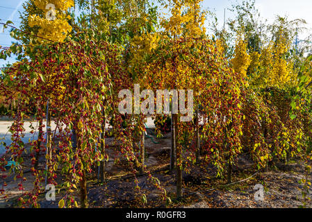 Rows of deciduous trees in the garden center selling plants. Seedlings of various trees in pots in a garden shop. Sale of many varieties of coniferous - Stock Photo