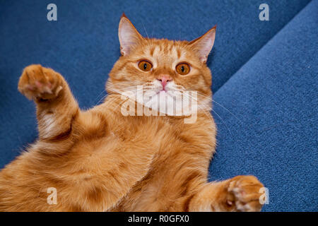 Red cat with a funny face and large round eyes lying on a blue bed - Stock Photo