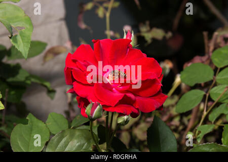 Red Rosa Canina Flower with Bee on Stamen - Stock Photo
