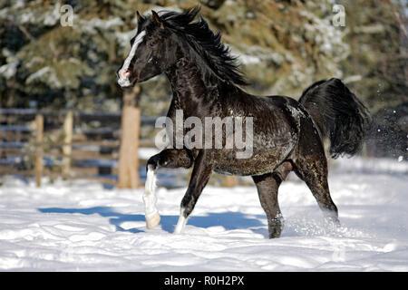 Black Arabian Stallion in winter, running on snow pasture. - Stock Photo