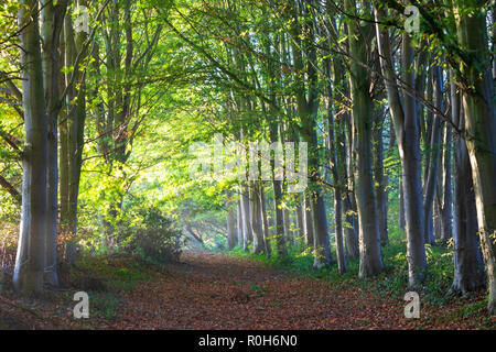 Line of backlit beech trees in morning autumn sunlight, Cotswolds, Gloucestershire, England, United Kingdom, Europe - Stock Photo