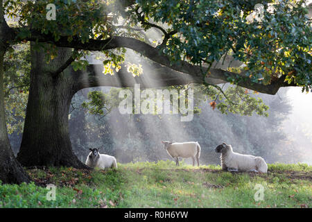 White sheep under tree with shafts of misty sunlight, Chipping Campden, Cotswolds, Gloucestershire, England, United Kingdom, Europe - Stock Photo
