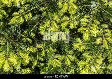 Background of young spruce branches. Young sprout. New sprout. - Stock Photo