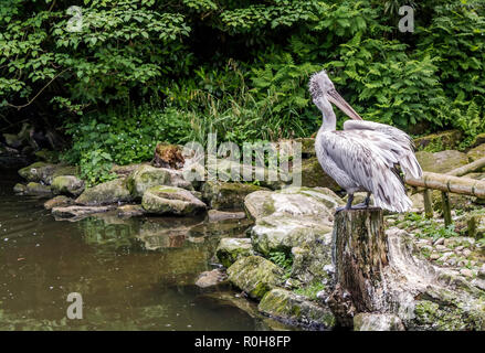 Young Dalmatian pelican (Pelecanus crispus) sitting on a stump near pond. Dalmatian differs from other large species in that it has curly nape feather
