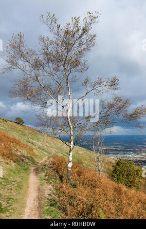 Lone silver birch tree or betula pendula without leaves on the side of a hill in the Malvern Hills, Worcestershire in autumn - Stock Photo