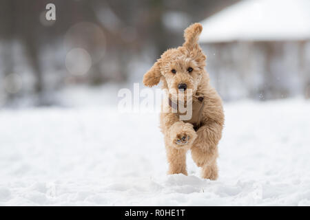 Poodle puppy is jumping in the snow. Poodle puppy in the snowy Vienna Woods, Austria - Pudel Welpe im verschneiten Wienerwald, Österreich - Stock Photo