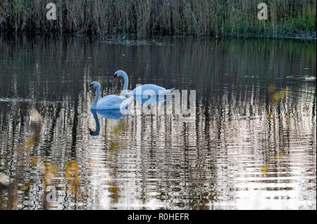 Two mute swans, Cygnus olor on a lake, late afternoon with reflections in the water. - Stock Photo