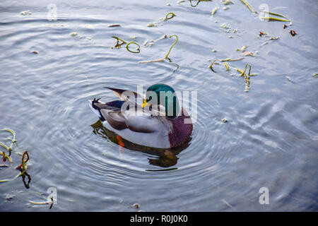 Mallard duck swimming in the River Coln that flows through Bibury village in Cotswold district, Gloucestershire, England, UK - Stock Photo