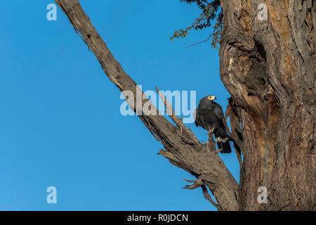 African harrier-hawk (gymnogene) (Polyboroides typus), Kgalagadi transfrontier park, South Africa - Stock Photo