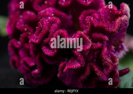 floralClose up of cockscomb flower - Stock Photo