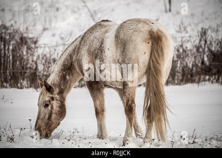 Dirty white horse grazing on the snow - Stock Photo