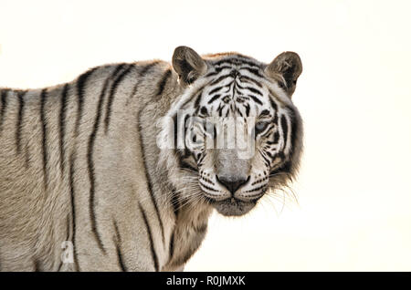 White Tiger isolated on White Background - Stock Photo