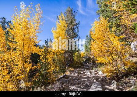Hiking trail going through a grove of aspen trees in the Eastern Sierra mountains, California; beautiful fall foliage - Stock Photo
