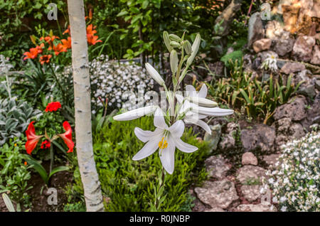 High large white Lily under the tree, among other flowers in the courtyard. - Stock Photo