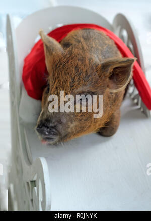 pig closeup under the Christmas hat , Chinese New Year 2019. Zodiac Pig - Stock Photo