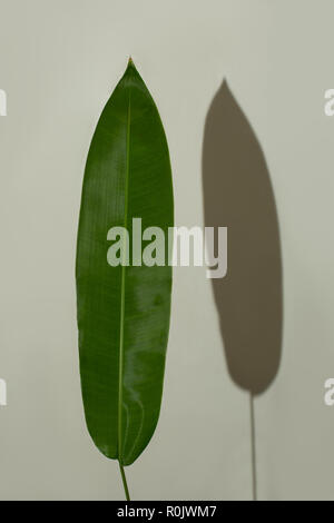 big green Leaf exotic plant artistic design isolated with a shadow on the wall - Stock Photo