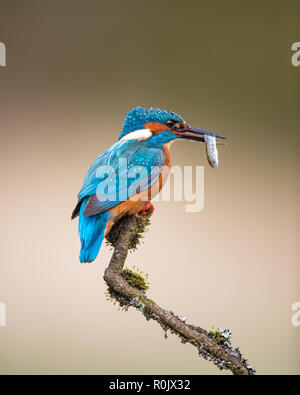 Eurasian Kingfisher (Alcedo atthis) with a fish perching on a twig, Scotland - Stock Photo