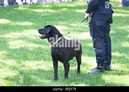 Police officer with black labrador retriever dog on duty. - Stock Photo