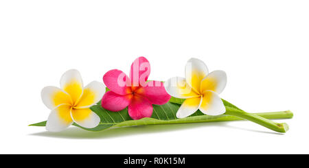 Red and white Frangipani flowers with leaves isolated on white - Stock Photo