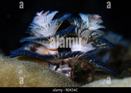 The tail of a Christmas tree worms fully open, Anilao, Philippines. - Stock Photo