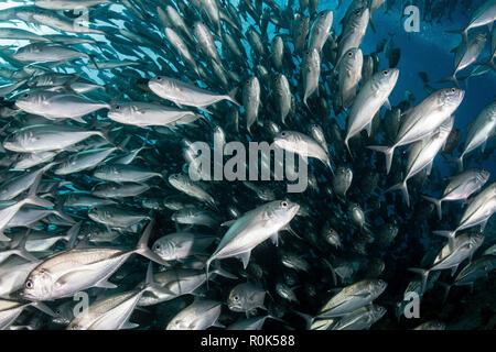 Schooling jack fish in the waters of Sipadan, Malaysia. - Stock Photo