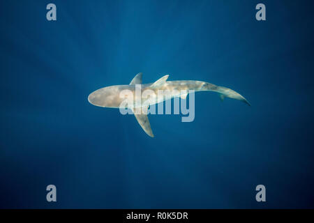 A dusky shark in the blue waters of South Africa. - Stock Photo