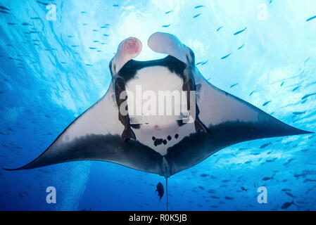 A giant pacific manta ray, Socorro Island, Mexico. - Stock Photo