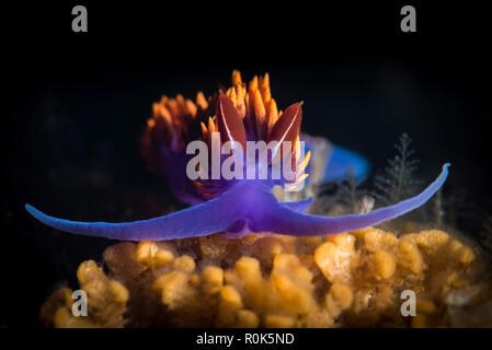 Spanish shawl nudibranch. - Stock Photo