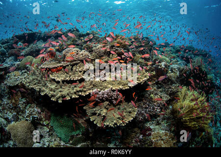 School of threadfin anthias fish above a coral reef in Alor, Indonesia. - Stock Photo
