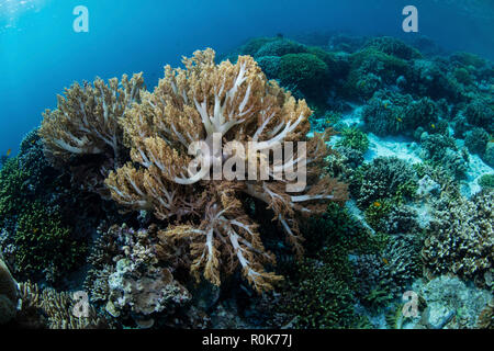 Soft corals thrive on a shallow reef in Wakatobi National Park, Indonesia. - Stock Photo