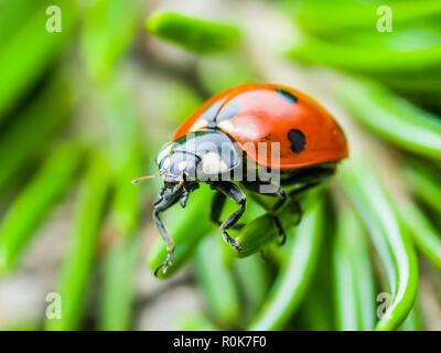 Ladybug Insect Crawling on Green Fir Macro - Stock Photo