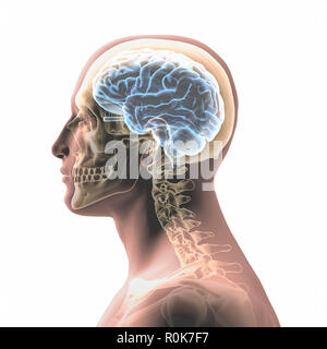 Profile of a man's head with skull and brain on a white background. - Stock Photo