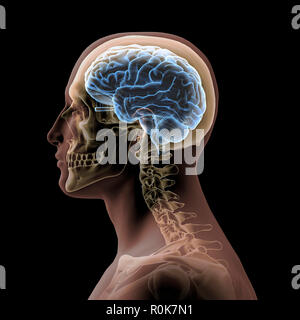 Profile of a man's head with skull and brain. - Stock Photo