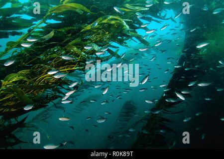Kelp forest (macrocystis), Isla San Martin, Baja California, Mexico. - Stock Photo