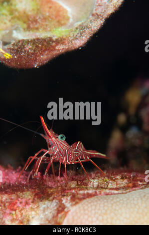 Shrimp, Similan Islands, Thailand. - Stock Photo