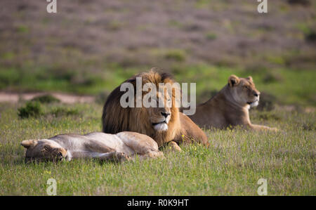 small pride consisting of one lion and two lionesses (leo panthera) lying down in the wild of South Africa during early morning in Spring - Stock Photo