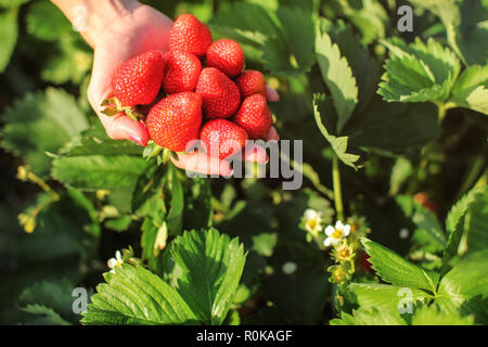 Woman hand holding handful of ripe strawberries, just harvested at self picking strawberry field farm. - Stock Photo