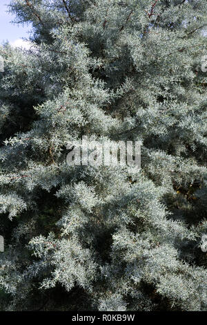 Picea abies. - Stock Photo