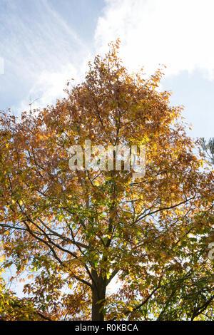 Quercus robur. English Oak tree in Autumn - Stock Photo
