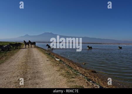 Zebras crossing Amboseli lake , during a sunny day, Kilimanjaro mountain on background , kenya . africa - Stock Photo