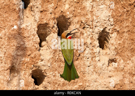 The White-fronted Bee-Eater, is a common member of the colourful bee-eater family and found over much of Southern and Eastern Africa in noisy colonies - Stock Photo