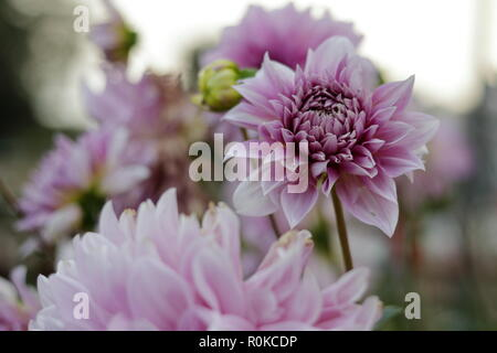 Dahlia purple closeup flower shot in Richmond, London. - Stock Photo