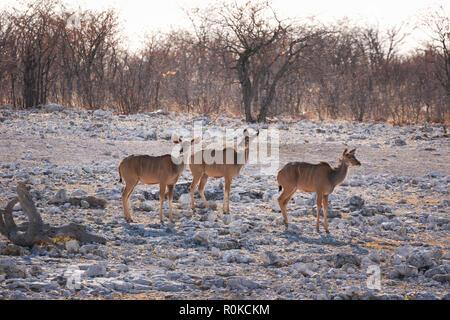 Group of Greater Kudu females, Tragelaphus strepsiceros, Etosha National Park, Namibia Africa - Stock Photo