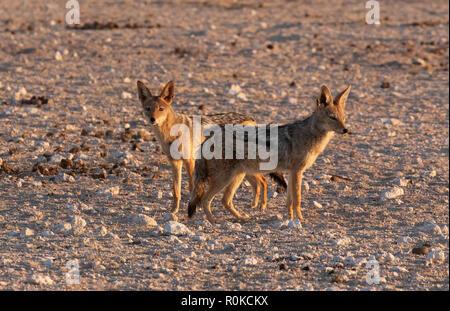 Black backed jackals - a pair of wild black backed jackals, ( Canis mesomelas ), Etosha national park, Namibia Africa - Stock Photo