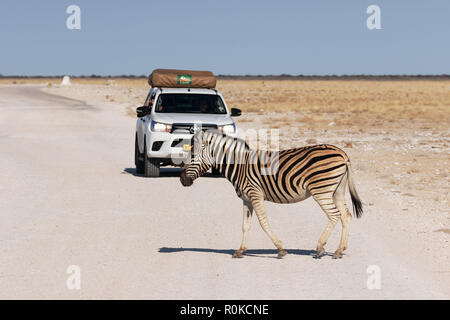 Zebra crossing the road in front of a car, Etosha National Park, namibia Africa - Stock Photo