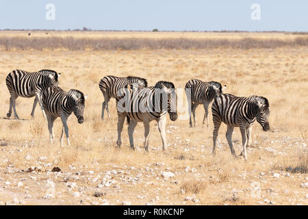 Herd of Common Zebras walking in line towards a waterhole, Etosha national park, Namibia Africa - Stock Photo