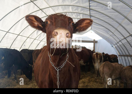 Portrait of a Brown Cow inside a Tent Standing on Top of Hay with Donkeys in the Background - Stock Photo
