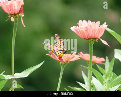 Monarch Butterfly Pollenating a Pink Flower in a Garden of Daisies and Wildflowers - Stock Photo