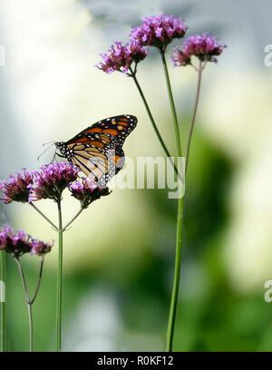 Monarch Butterfly Pollenating a Purple Flower in a Garden of Wildflowers - Stock Photo